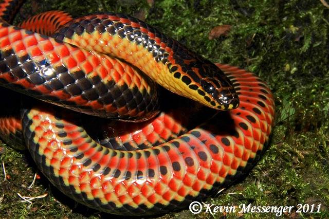 Serpiente arco iris
