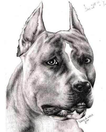Brindle Pitbull Chief Drawing By Denise A Wells