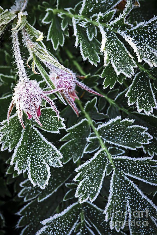 ✯ Early Frost pierwsze śniegi:) #mintume #eko #Ekologia