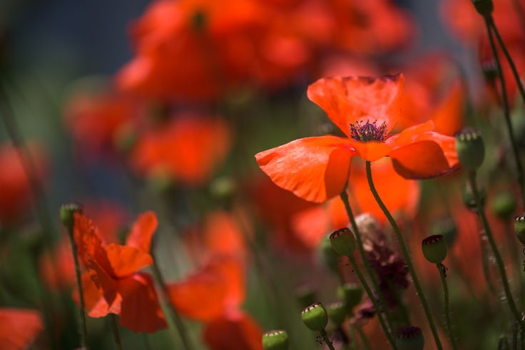 Poppies by Raymond  on 500px