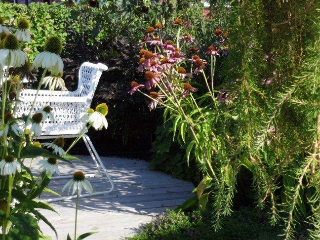 Echinacea purpurea 'Magnus'   oslolykke