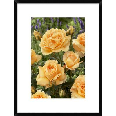 """Global Gallery 'Rose Solo Mio Renaissance Variety Flowers' Framed Photographic Print Size: 24"""" H x 18"""" W x 1.5"""" D"""