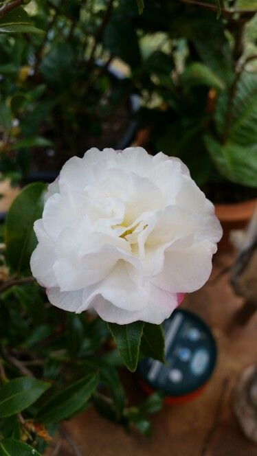 Camelia flower. This is actually quite a small flower, but it is gorgeous.