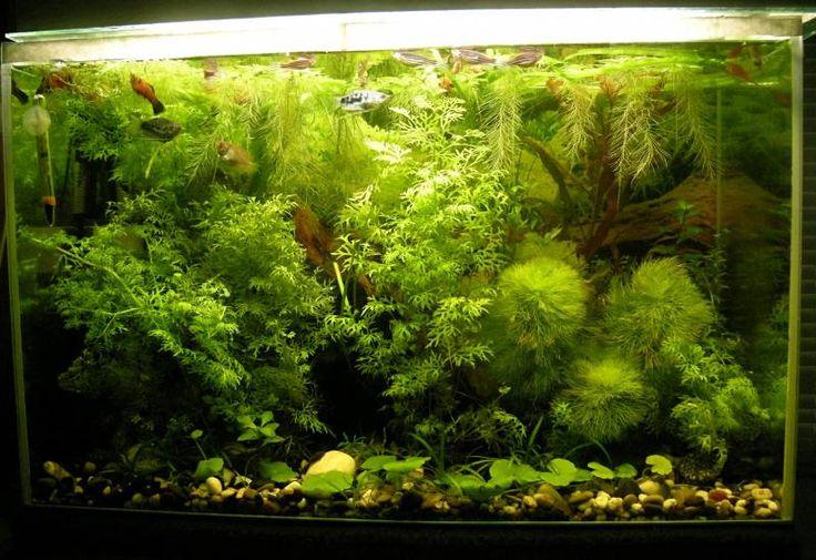 тема аквариумные рыбки и растения - Мир животных