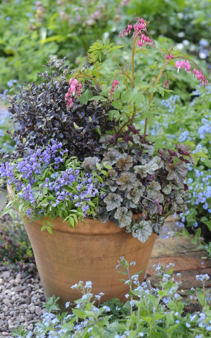 Brunnera and spring vetchling in a pot