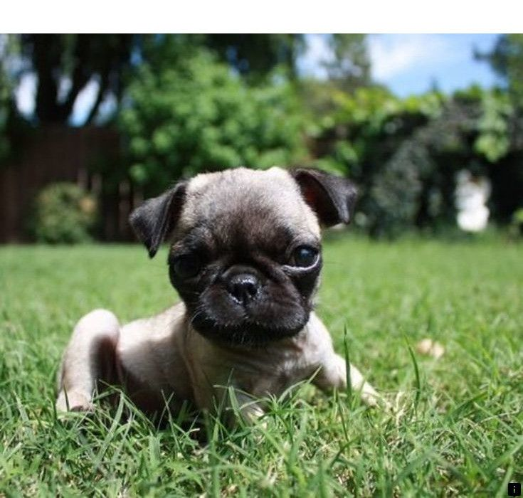 Read Information On Pugs For Adoption Near Me Follow The Link To