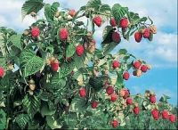 Бриллиантовая малина ремонтантного сорта. Ягоды крупные конической формы, рубиново-красные, блестящие. Побеги этого сорта плодоносят в первой декаде августа. Его ягоды, массой до 15 г, имеют один из самых приятных кисло-сладких вкусов. Приятный аромат, зимостойкость средняя.