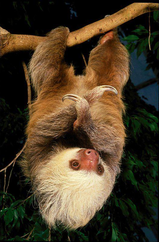 Two-Toed Sloth, National Aquarium, Baltimore