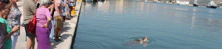 A sea turtle in Argostoli entertains tourists  check it out at http://wildlifesense.com