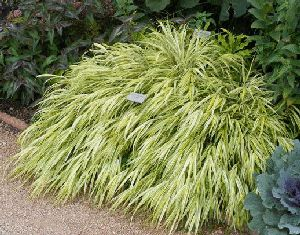 Hakone grass 39 aureola 39 by tog just one of many ornamental for Hardy fountain grass