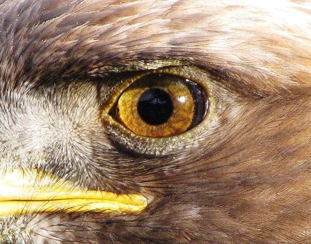 Eagles' eyes have a million light-sensitive cells per square mm of retina, five times more than humans. While humans see just three basic colors, eagles see five. These adaptations gives eagles extremely sharp eyesight and enable them to spot even well-camouflaged potential prey from a very long distance.