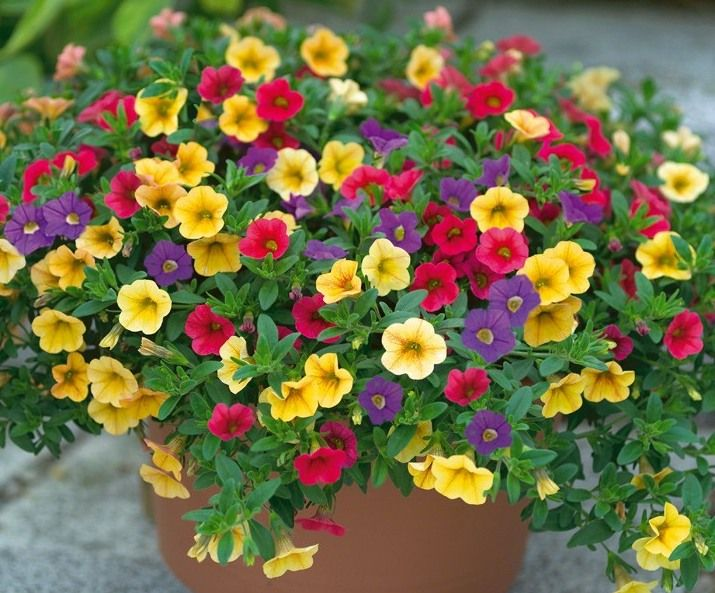 Calibrachoa 'Celebration'