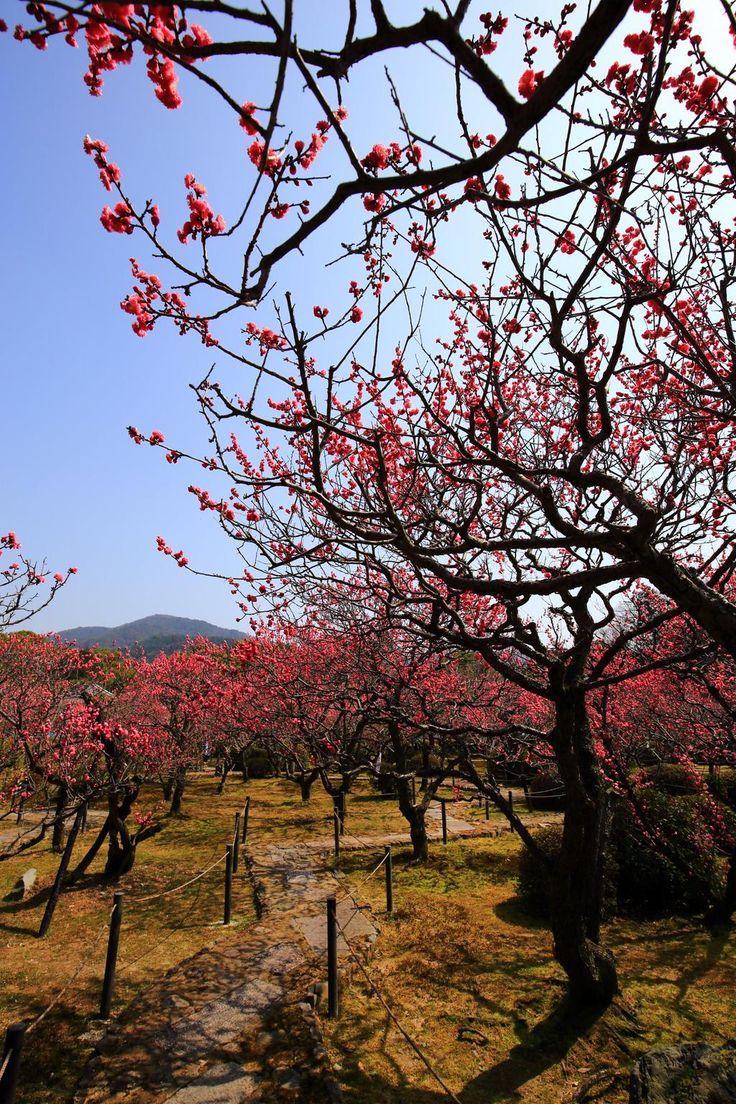 京都 随心院の梅の写真更新いたしました。 http://kyotomoyou.jp/blog-entry-960.html…