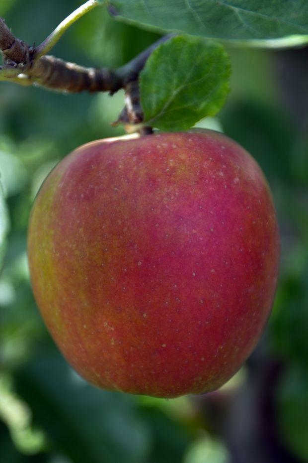 Fra juli til midten af september er det sæson for beskæring af æbletræer. Men…