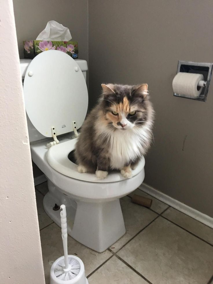 Got Chloe when she was about 2 noticed after a couple years that she was using the toilet (thought my toddler just wasnt flushing lol). Shes now 8 or 9 and still does it. I never trained her or anything anyone elses cat do this?? by blupaisley cats kitten catsonweb cute adorable funny sleepy animals nature kitty cutie ca #kittypottytraining