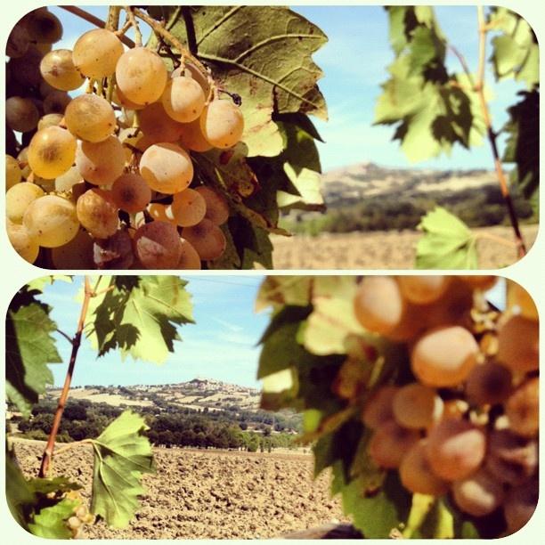 Marche: Grapevine - #iphonephotography #igersmarche #igs #italy #panorama #grappolo #uva #conero - @laviadelconero- #webstagram
