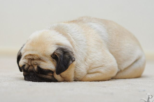 pugloaf. I've got one of these (actually two). I also have a Rotweiler mix (most loving dog in the world). I'll love another one any day of the week.