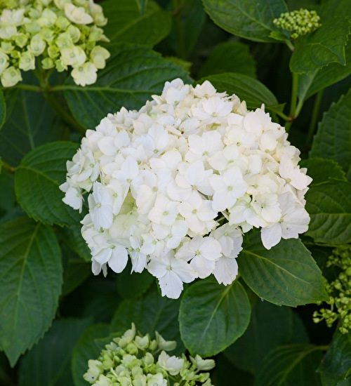 Flowers in a beautiful pure-white, which tints to pink as they age, with contrasting dark leaves. Exceptionally long-flowering.
