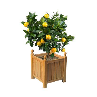 citronnier en pot dans veranda - Recherche Google   Arbre ...