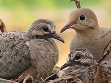 This will link to the Mourning Dove Wikipedia page, I love these birds and have them in my garden, so sweet