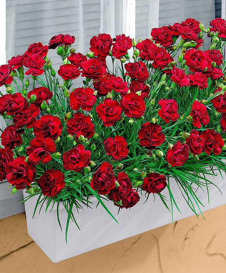 Garofani tirolesi pendenti  Piante  Bakker  fiori ...