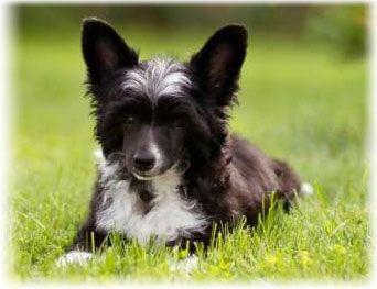 Китайская хохлатая собака фото щенков, уход и содержание, болезни
