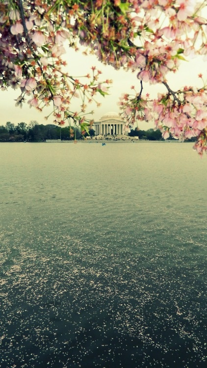 Cherry Blossoms @ the Tidal Basin