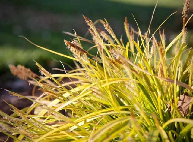 Carex Bronze Reflection. 97 best gräser images on pinterest ...