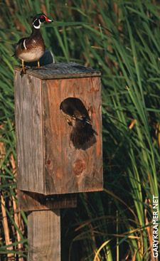 Wood duck box - the neighbors removed old growth maples from their yard that were home to wood ducks last year. We've put up a wood duck box in our yard with the hope that they will find it a suitable replacement.
