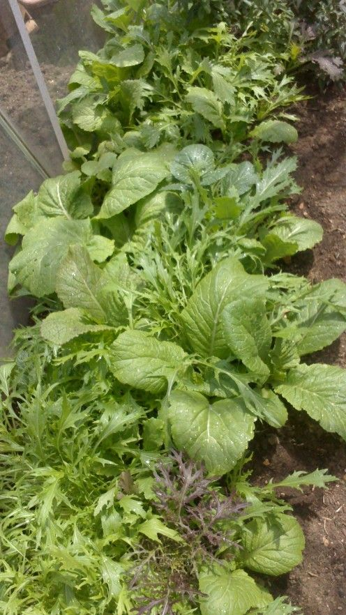 mixed salad leaves with pak choi (pechay)