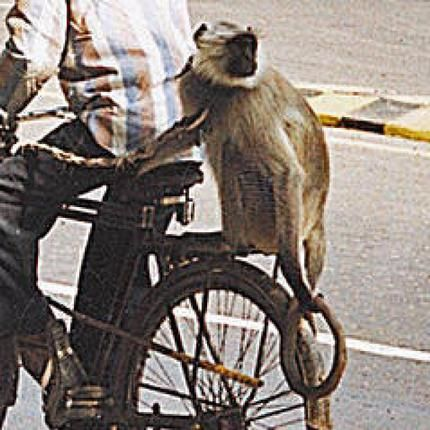 Solving India's problems — Langur style!