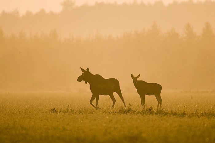 Elg, Bilder av mooses Bilder av dyr