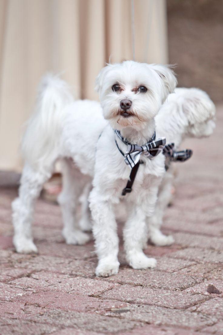Best 25+ Dog wedding attire ideas on Pinterest   Marriage ...