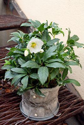 http://holmsundsblommor.blogspot.se/2011/11/julros-ull.html Julros Helleborus Ull