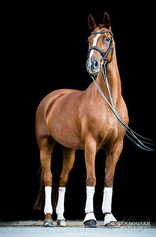 Klassische Pferde-Portraits – Monika Bogner Photography – Pferdefotografie und Hundefotografie in Bayern