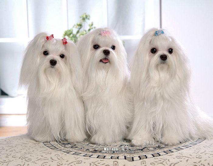 maltese: Shihtzu Dogs, Tzu Shihtzu