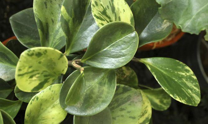 Peperomia Obtusifolia Plantas Jardineria Y Plantas De Interior