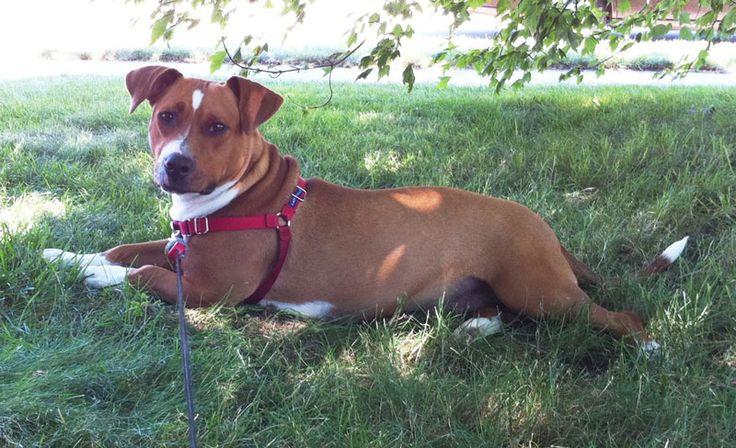 30 best Dox-Bull images on Pinterest | Dachshund dog ...