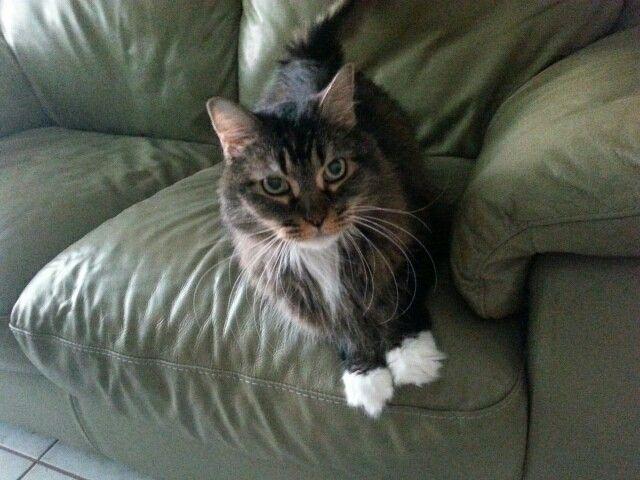 Our beautiful long hair mancoon cat, Posh!