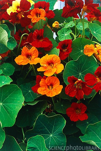 """Jewel Mix Nasturtium. Annual. Edible. Good for bees. Low to moderate water. Tolerates bad soil. Sun, part shade. Grows 12-14"""" tall by 12-24"""" tall.  If this grows well, I'll do seeds next year. I used to have them in Yakima. Tacoma climate is a bit different.  (McLendon/Tanasacres)"""
