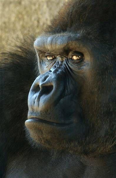 Gorilla ( Afrique )