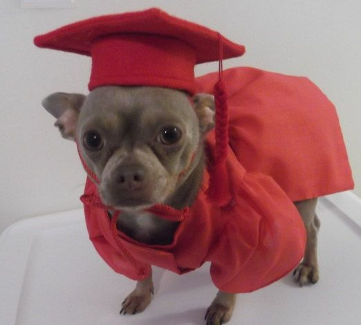 For SMALL Dogs Red Graduation Cap and Gown for by WoofsandRuffles, $45.00