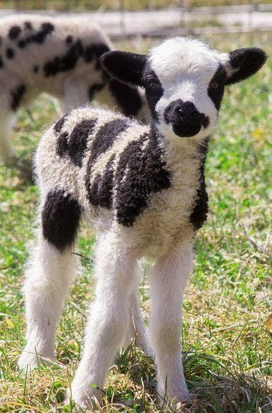 Piebald lamb - baby Jacob Sheep breed