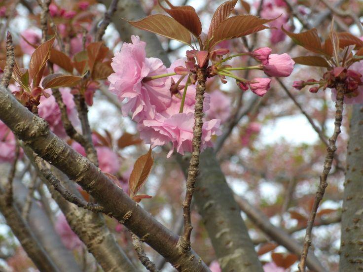 八重桜(伊豆高原)  A double‐flowered cherry tree  #cherry