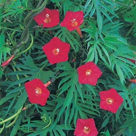 Fjäderstjärnvinda:   (Ipomoea quamoclit)   Ovanlig sort vars stjälkar och bladverk ger ett intryck av fjädrar. Vackra blommor i nyanser av vitt, rosa och rött. En klätterväxt idealisk för krukor på altanen, i ett växthus eller i trädgården. Höjd ca 2 meter. Ca 40 fröer.  (Ordinarie pris 25 kr)