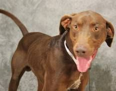 RUGGER has 3 Day(s) Left to Live! Rugger Breed: Doberman Pinscher (mix breed) Age: Adult Gender: Male Size: Large, Shelter Information: Greenville County Animal Care Services 328C Furman Hall Road Greenville, SC Shelter dog ID: 18839774 Contacts: Phone: na Name: Lauren email: petrescue@greenvillecounty.org  About Rugger: ANIMAL ID: 18839774 BREED: doberman mix SEX: male EST. AGE: 3 yr Est Weight: 62.5 lbs HEALTH: appears healthy- hw positive TEMPERAMENT: dog friendly- cat friendly- people…