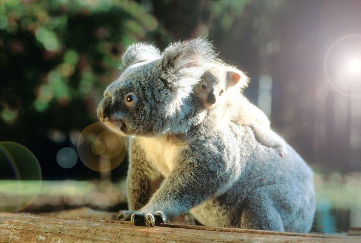 koalabjørn Australia