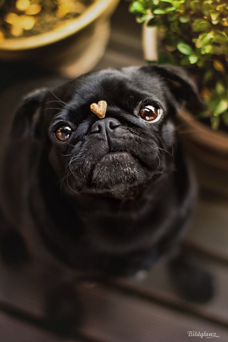 Photograph My Heart Is Your Heart By Bildglanz On 500px Cute Pug Puppies Pug Puppies Cute Pugs