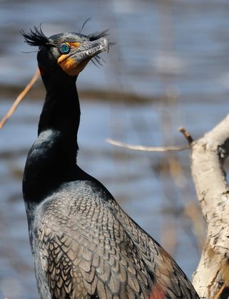 You lookin' at me?  A double crested Cormorant whips it's head around to catch me taking it's photograph!