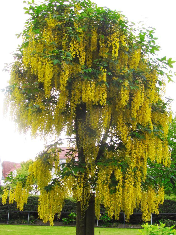 Goldregenbaum